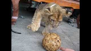 [Lion Cub VS Ball]