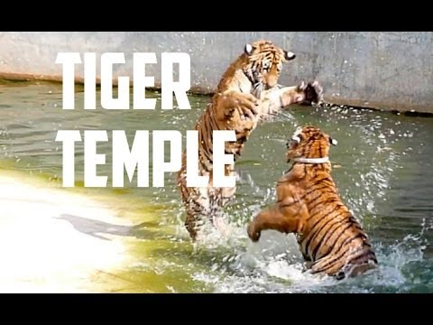TIGER TEMPLE Kanchanaburi Thailand - Young Tiger Cubs Play Fighting