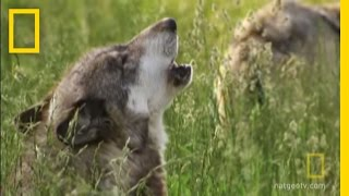 How Did Wolves Evolve Into Dogs?