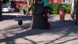 Turkey Chasing Boy on Unicycle around a Tree