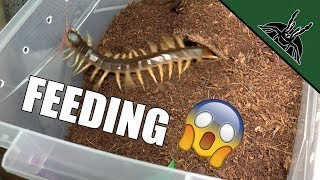 FEEDING THE DEVIL | Spiders and Centipede
