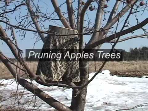 Pruning Apple Trees