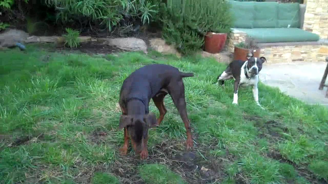 Pit Bull vs Doberman - YouTube