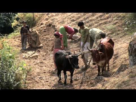 Traditional farming with bullocks and village hands in Uttarakhand