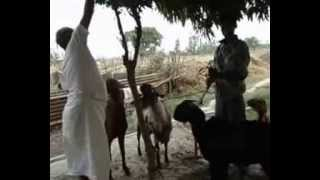 Goats Farming In Nepal