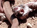 Snakes fighting..