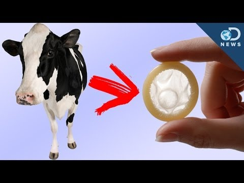 Birth Cowtrol: Human Condoms Made From Cows?