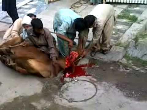 Farhan cow cutting - YouTube