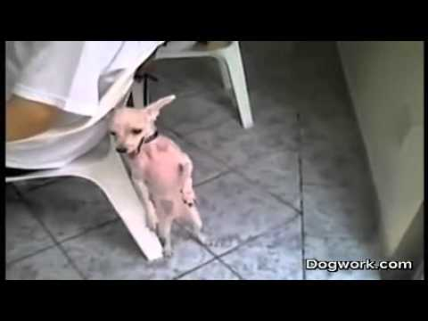 Chihuahua Dancing Salsa