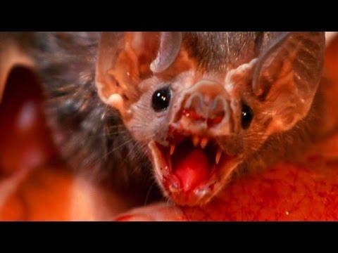 Wild Vampire Bats Are Now Feeding on HUMAN Blood!