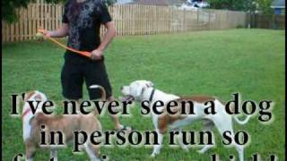 My Big American Bulldog Jumping High About 10 Ft In The