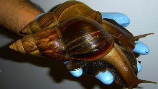 Giant African Snail Invasive