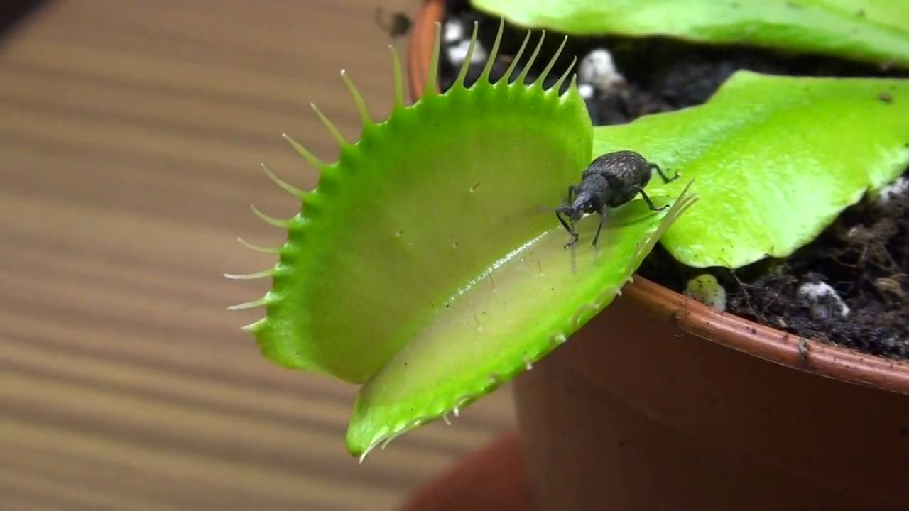 Venusfliegenfalle vs kaefer venus fly trap vs bug for Fleischfressende pflanzen