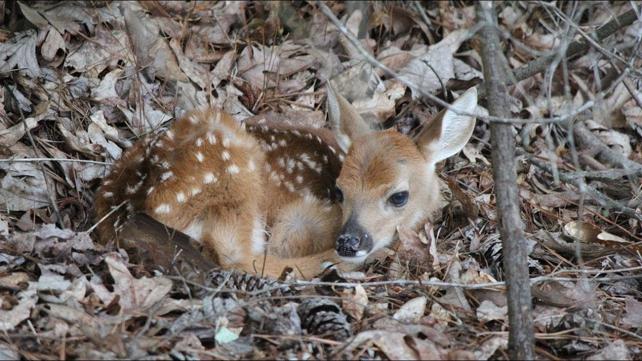baby whitetail fawn in - photo #1