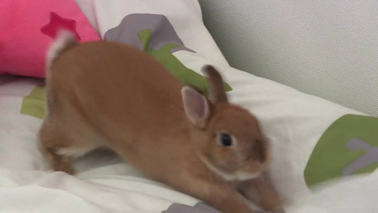 Cute netherland dwarf bunny rabbit play on the bed youtube