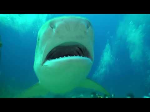 Tiger Shark Fedding Interaction with Randy Jordan