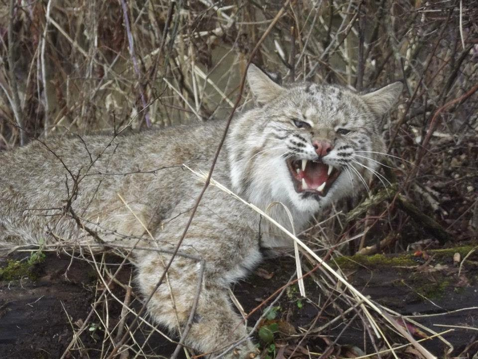 Trapping A Bobcat by a Stream