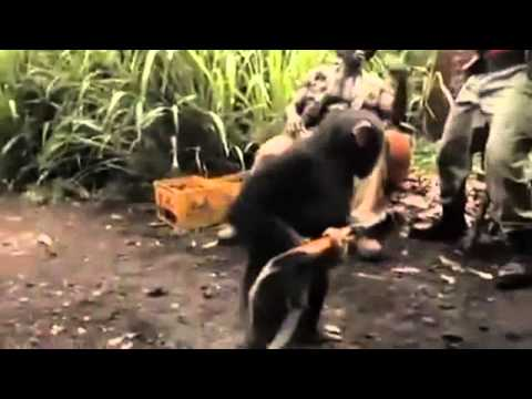 Chimp With A Gun AK - 47 - Must Watch.avi