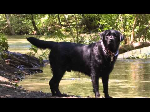 Colors & Types of Labrador Retrievers : Dog Care Tips