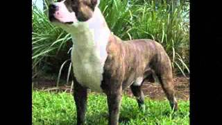 Pit Bull Vs Rottweiler Vs Bull Terrier Vs Bull Dog