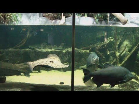 [HD] Fish tank of the river monsters / Flussmonster @ Allwetterzoo Münster [7/30]