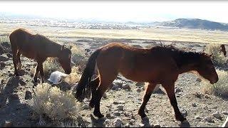 Mustang Herd Reno Nevada 2014