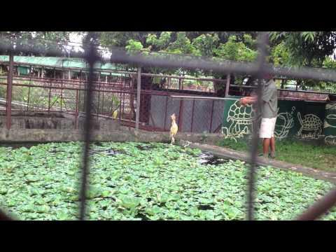 Feeding Lapu-Lapu the crocodile