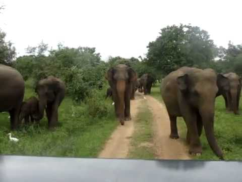 Animal YALA Before elephant attack safari jeep safari topten@world