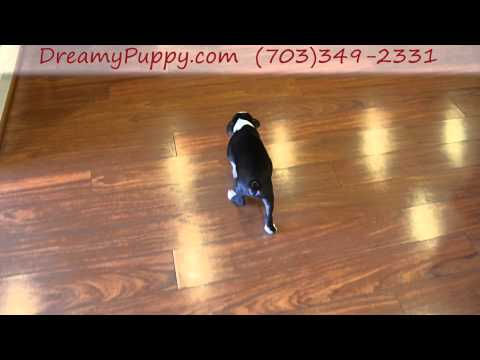 Dreamy Puppy Boston Terrier Boy!
