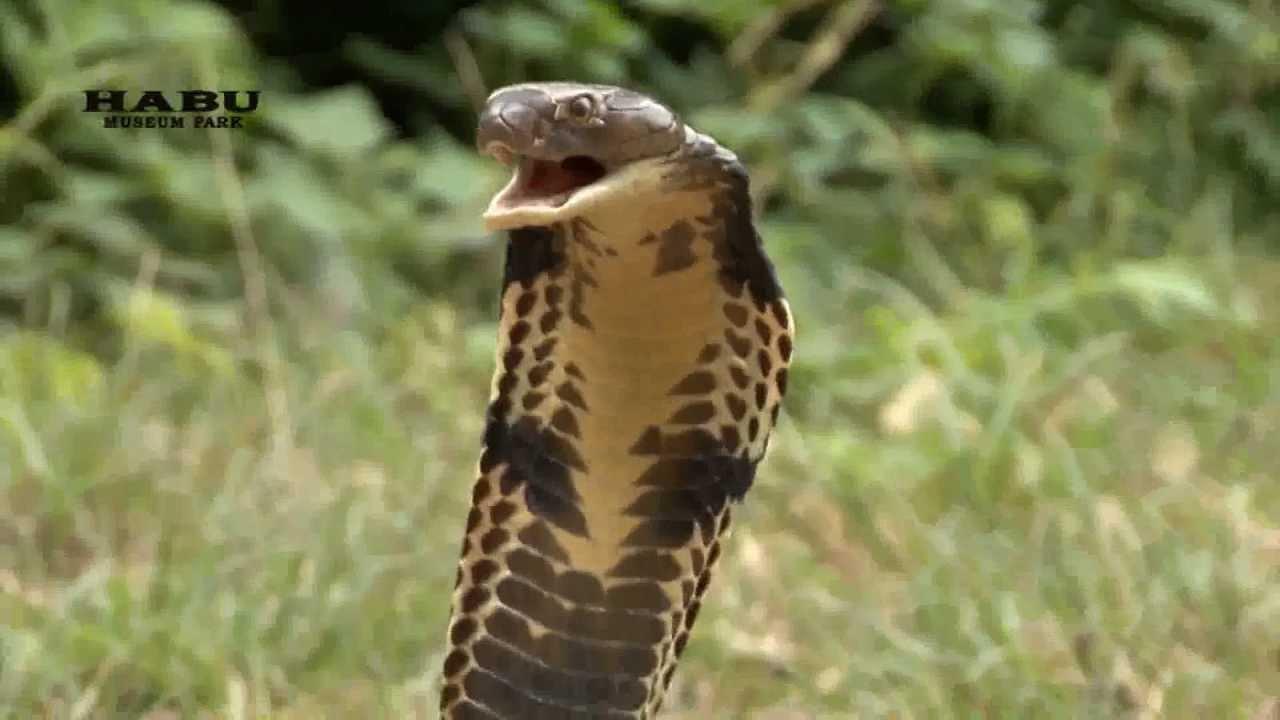 キングコブラの画像 p1_5