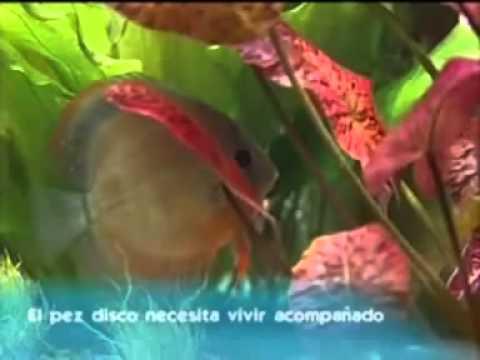 PECES DISCO (DISCUSLAND) TIENDA ANIMALES Y PECES