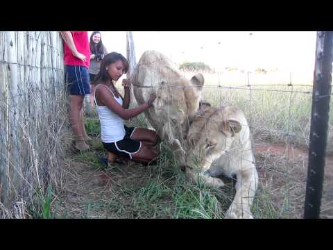 Life Changing moments spent with Lions at Cheetah Experience Bloemfontein