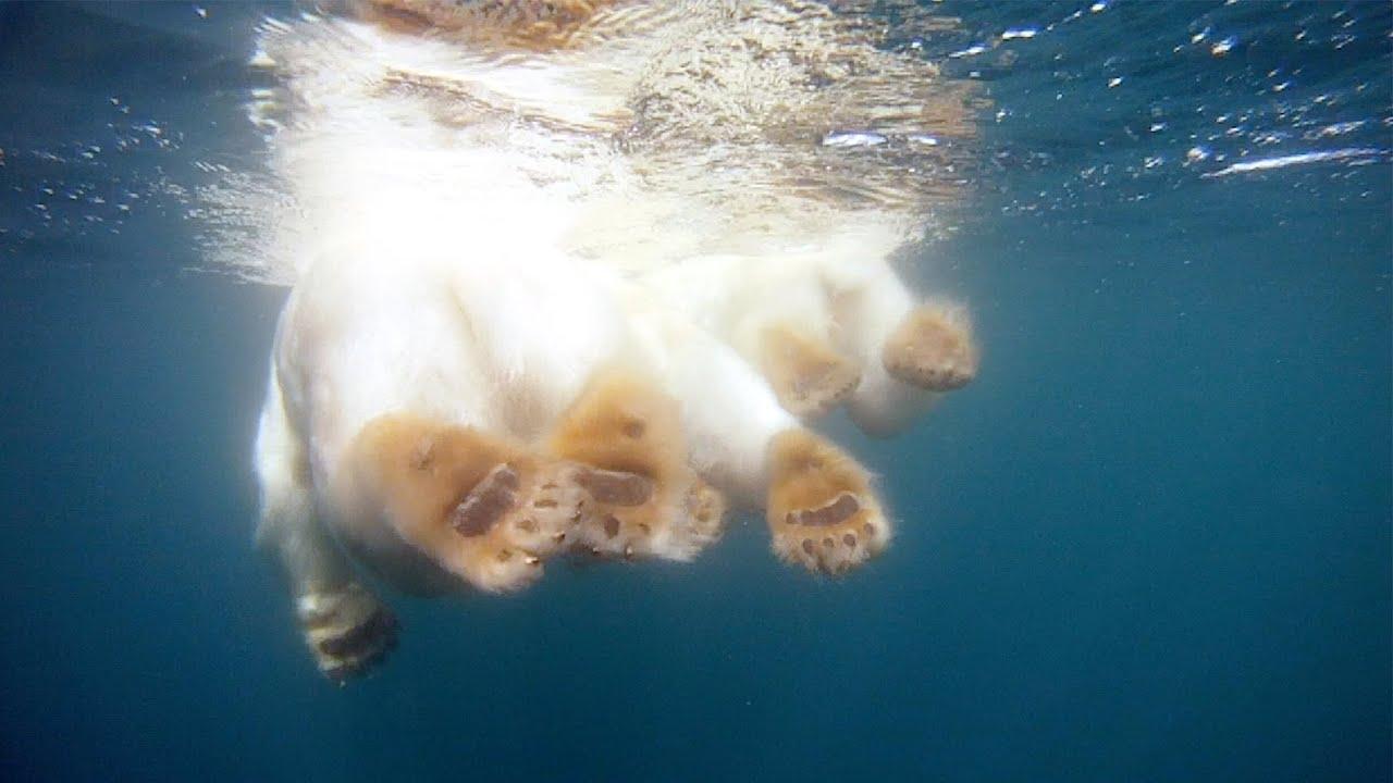 Ours polaire à la recherche de la banquise