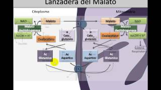 Bioquímica - Óxido Reducción parte 3 - Lanzadera de Malato y Piruvato Deshidrogenasa