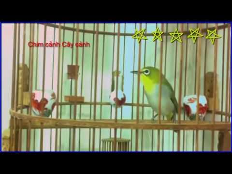 Tiếng chim mồi - Khuyên mái kích thích chim trống hót líu Vip [ Khuyên mồi bạc triệu ]