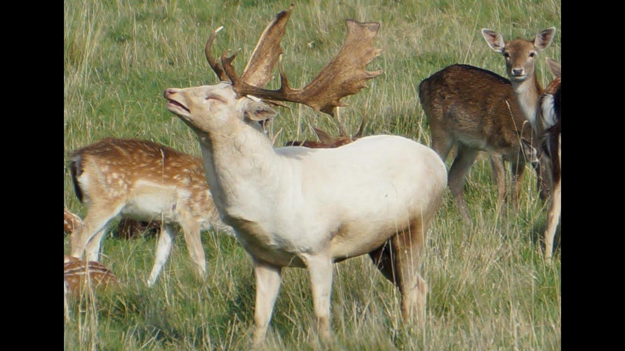 White fallow deer