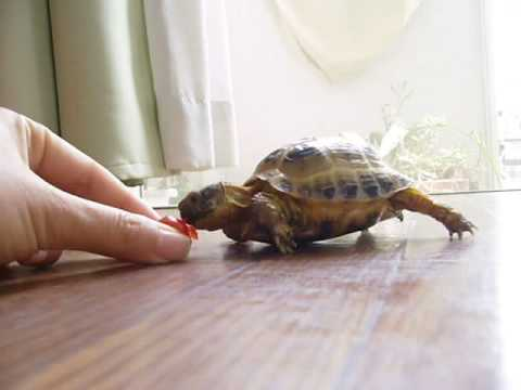 Tortoise chasing a tomato, Round objects are hard to eat.