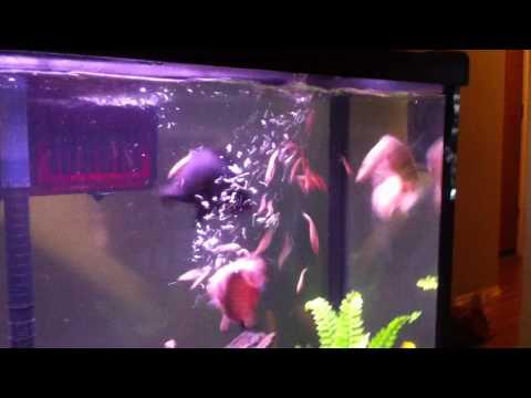 Monster white baby oscar fish feeding frenzy!!!