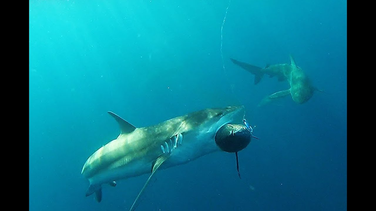 See southern blue fin tuna attacked and eaten by sharks for What do tuna fish eat