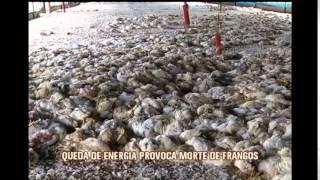 Milhares de frangos morrem por falta de energia em S�o Sebasti�o do Oeste