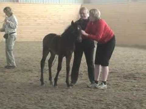 Positive horse training of mare, stallion and foal together