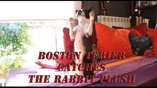 Boston Terrier's new trick