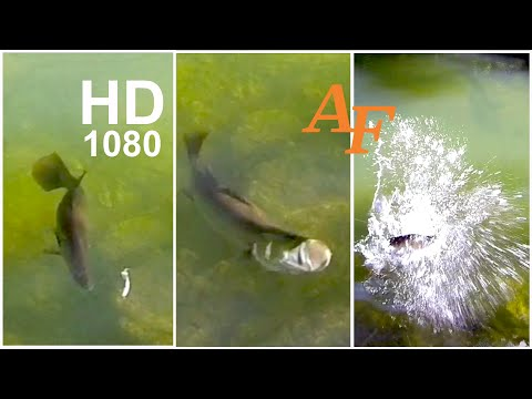 Fishing Video Best Barramundi Barra Strike Ever Fish Soft Plastic Andysfishing