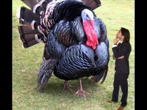 The biggest turkey in the world? - YouTube