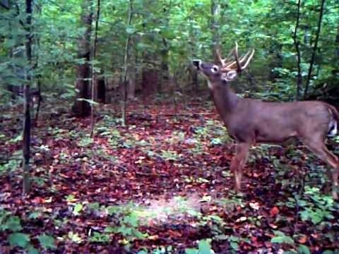 Whitetail Buck Scrape