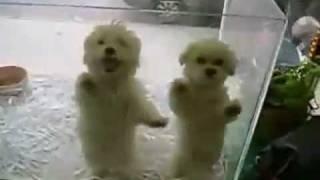 Perros bailando merengue