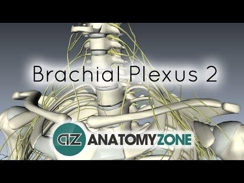 Brachial Plexus - Structure and Location - 3D Anatomy Tutorial