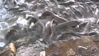 Bőség zavara van halból