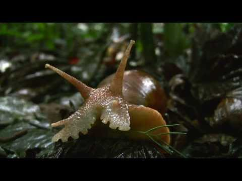 Giant Land Snail Devours Sappling in the Amazon