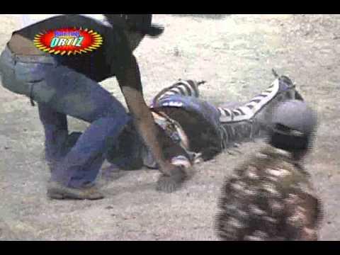 Accidente en el Jaripeo: La Mala Bajada de un jinete (Privado)